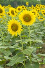 sun flower filed