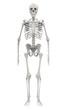 human skeleton isolated on white background
