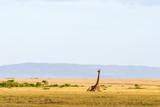 Giraffe lying down in the landscape