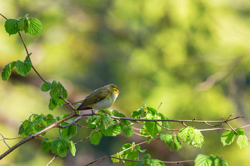 Green Warbler on a branch
