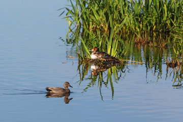 Gadwall swimming in the lake