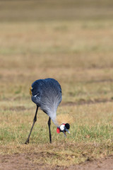 Grey Crowned Crane grazing