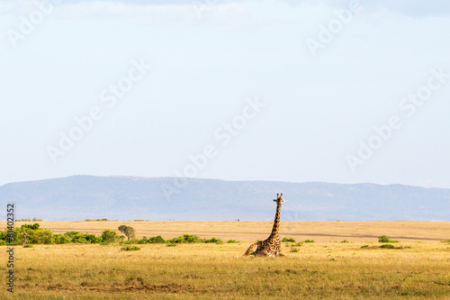 Fotobehang Giraffe Giraffe lying down in the landscape