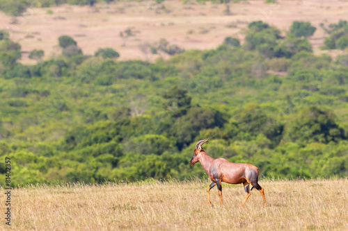 Poster Antilope Topi walking in the grass