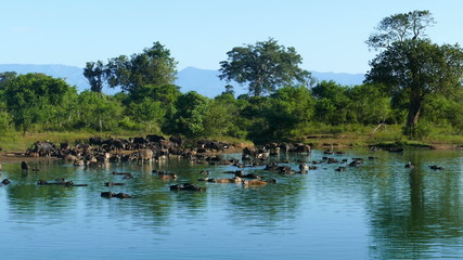 many wild buffalo bathing in the lake in Sri Lanka