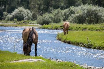 Altay horses near river