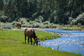Altay horses near river 2