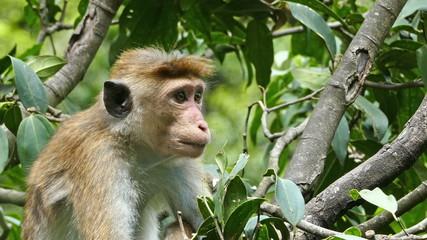 Monkey macaque sitting on tree in Sri Lanka