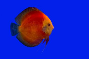 Discus fish , Red Velvet