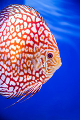 Discus fish , Checkorboard turquoise close-up body