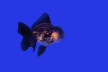 Gold fish Black Oranda