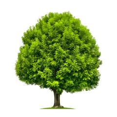 Perfekter Baum, eine Esche auf weiß