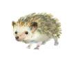 Watercolor little hedgehog