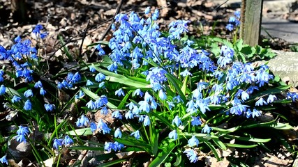 Bees collecting nectar or pollen from Siberian squill