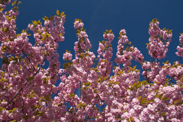 Pink flower trees as a background