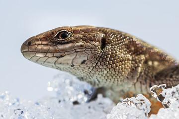Прыткая ящерица (Lacerta agilis).Голова крупно
