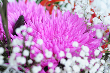 pink chrysanthemum blossoming