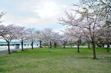 唐橋公園の桜