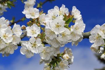 Le cerisier !