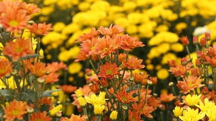 beautiful Chrysanthemum flower blooming with wind blow