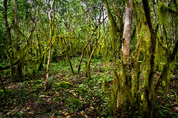 Beautiful green mysterious mossy forest in Santa Cruz island
