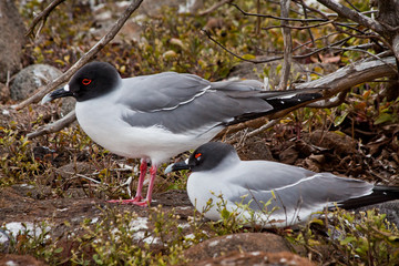 Swallow tailed gulls in the Galpagos Islands