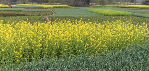 rape flowers in chengdu, china