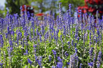 Closeup of lavender flowers