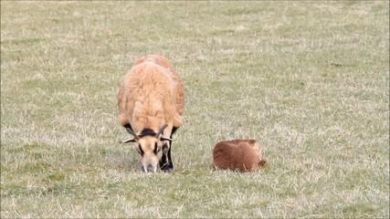 Tierbaby Lamm mit Schafmutter auf der wiese