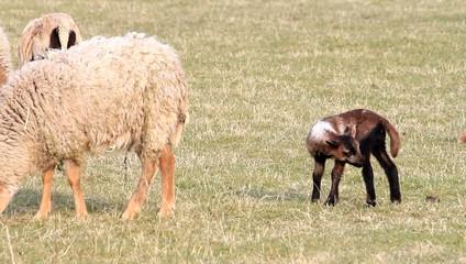 Tierbaby lamm schaf auf der Wiese