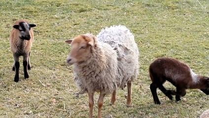 Schafe, Lämmer, Frühling, Familie