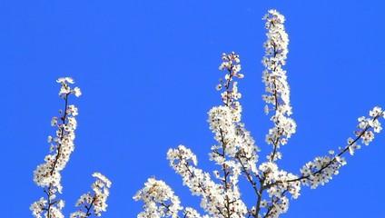 Pflaumenbaumblüten weiß vor blauem himmel