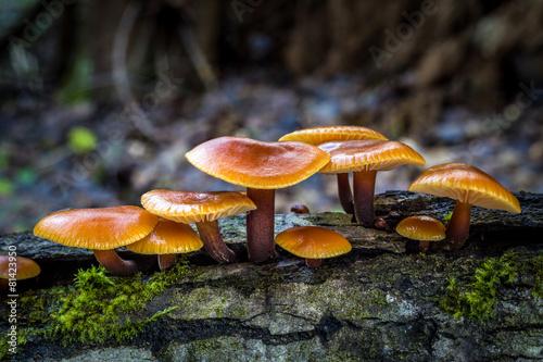 Leinwanddruck Bild Flammulina - edible mushrooms