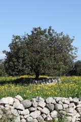 Albero di Carrubo in campo fiorito