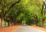 Beautiful village road in India, with tamarind tree both sides - 81428793