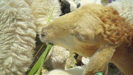 Sheep, lamp feeding deliciously with grass