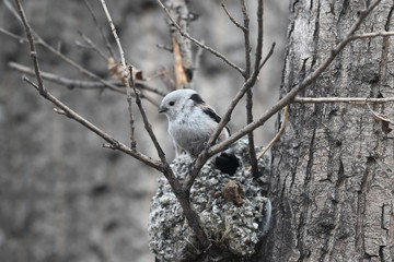 Long-tailed Tit builds a nest for breeding