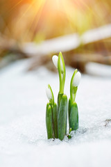 Spring snowdrop flowers coming out from snow with sun rays
