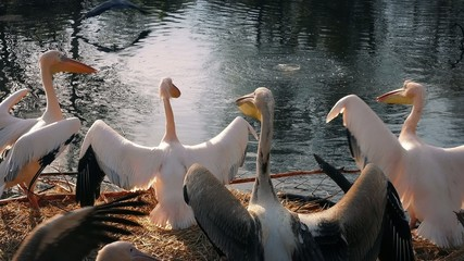 Young Male Pelicans Challenging Each Other