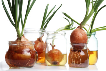 Sprouted onions. White background