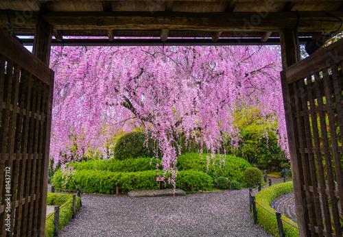 Foto op Plexiglas Kersen 京都 退蔵院の枝垂れ桜