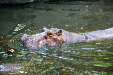Hippopotamus submerged in water.