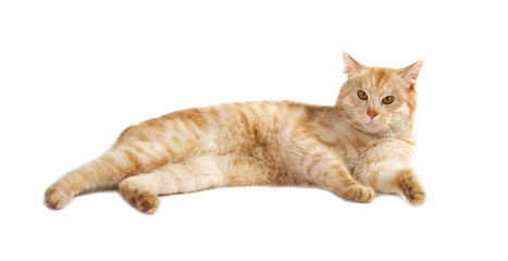 cute red cat isolated over white background