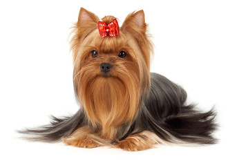 One professionally groomed Yorkshire Terrier