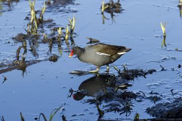 Moorhen. Wading bird found on waterways of British Isles.