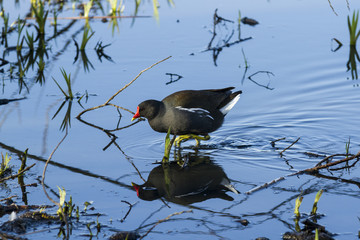 Moorhen. Wading bird found commonly waterways of British Isleas.