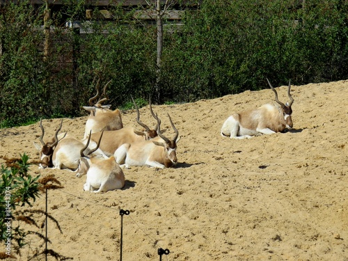 In de dag Antilope antilope