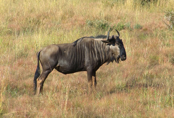 Wildebeest in South Africa