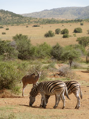 Zebras and Antelopes in Southafrica