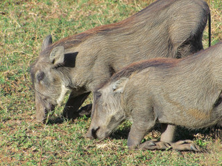 Warthogs in South Africa